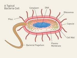 diagram of bacteria cell photo album   diagramsimages of diagram of bacteria cell diagrams