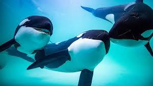 Бизнес на китах: в России ловят косаток и продают китайцам ...