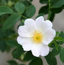 Rosa arvensis (Field Rose) Plants | British Hardwood Tree Nursery ...