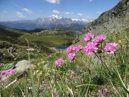 Armeria alpina Willd.