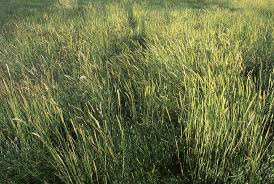 Image result for wild rye grass