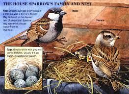 HOUSE SPARROWSHOSPcreatures site jpg