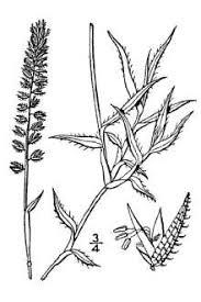Plants Profile for Tragus racemosus (stalked bur grass)