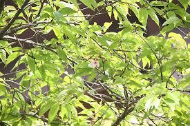 Výsledek obrázku pro sakura tree leaves