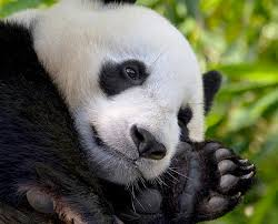 <b>Panda</b> Cam | San Diego Zoo