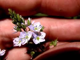 Veronica anagallis-aquatica Calflora