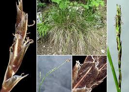 Carex sempervirens Vill. subsp. sempervirens - Sistema informativo ...