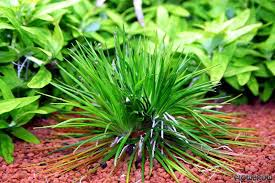 Eriocaulon cinereum - Flowgrow Aquatic Plant Database