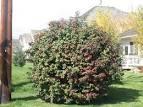 Images & Illustrations of cranberry bush