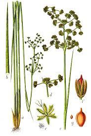 Juncus subnodulosus — Wikipédia