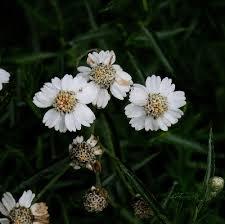 Achillea ptarmica - Michigan Flora