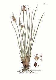 Juncus acutus - Wikipedia