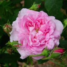 Image result for damask rose