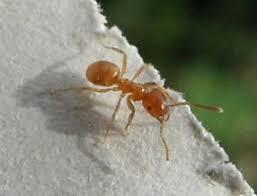 Résultats de recherche d'images pour «fourmis des champs brune photo»