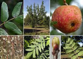 Sorbus domestica L. - Sistema informativo sulla flora vascolare del ...