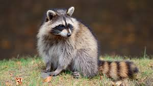 Image result for raccoon pictures