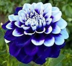 <b>20 pcs</b>/<b>bag</b> Multi-color <b>dahlia</b> seeds, <b>dahlia</b> flower, bonsai flower ...