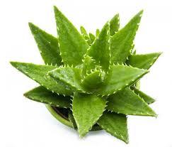 Resultado de imagem para aloe vera planta