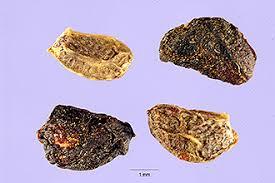 Plants Profile for Rubus vestitus (European blackberry)