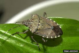 Pest Identification - Stink Bugs - PermaTreat Inc.