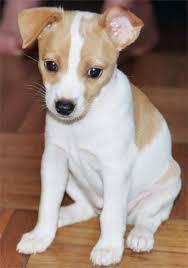 Χαρακτηριστικά  του Rat Terrier;