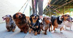 6 Tips For Mastering The Dog <b>Walk</b>   Cesar's Way
