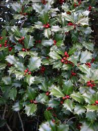 plantfiles pictures american holly dan fenton ilex opaca by dan fenton american holly exhibiting classic red fruit glossy dark green leaves as complement 26 2014 rutgers gardens new brunswick nj