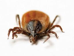 Résultats de recherche d'images pour «photo tic insect»