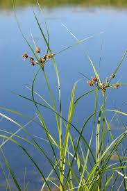 Bolboschoenus maritimus - Wikipedia