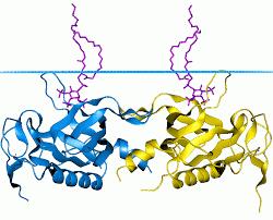 Bruton's tyrosine kinase