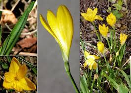 Sternbergia lutea (L.) Ker Gawl. ex Spreng. - Sistema informativo ...