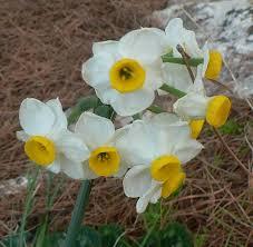 Narcissus tazetta - Wikipedia, la enciclopedia libre