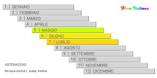 Micropus erectus subsp. erectus [Bambagia eretta] - Flora Italiana