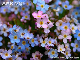 Myosotis videos, photos and facts - Myosotis rehsteineri | Arkive