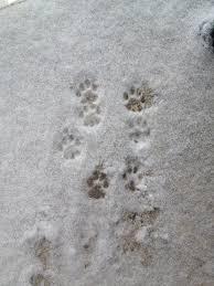 Bildresultat för tassar i snö