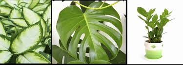 left to right aglos philodendron zz plant best office plants no sunlight