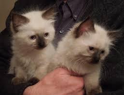kittens kantial ragdolls kantial ragdolls kalypso kassidy