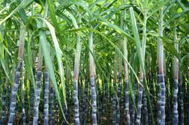 Image result for sugar cane farm clipart