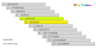 Linum collinum [Lino collinare] - Flora Italiana