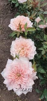 <b>Японские розы</b>
