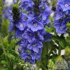 Plant Profile for Veronica austriaca Venice Blue - Austrian ...