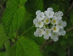 Lippia graveolens - Wikipedia