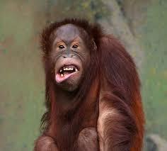Картинки по запросу шимпанзе