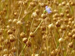 Image result for flax
