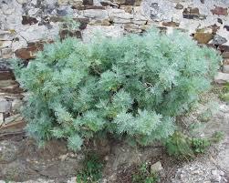 Artemisia arborescens - Wikipedia