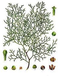 Cyprès de l'Atlas — Wikipédia
