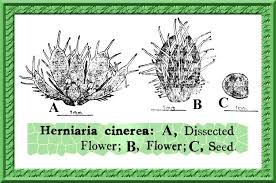 Herniaria cinerea in Flora of Pakistan @ efloras.org