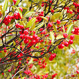Image result for red chokeberry