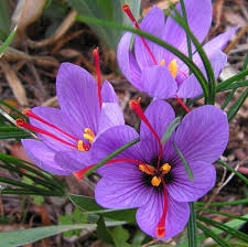 Image result for saffron and orange flowers