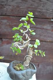 1000 ideas about jade bonsai on pinterest bonsai mini bonsai and bonsai trees add bonsai office interior